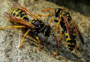 Punta da un nugolo di vespe, cade in shock anafilattico: 70enne trasportata all'ospedale