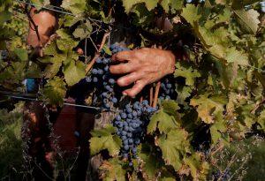 Vendemmia 2018: in alcuni vigneti è già partita la raccolta dell'uva