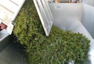 Vendemmia entra nel vivo: super lavoro per raccogliere l'uva