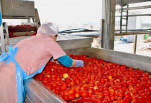 Pomodoro, campagna al 45%. Buona qualità, ma problemi con il ragnetto rosso