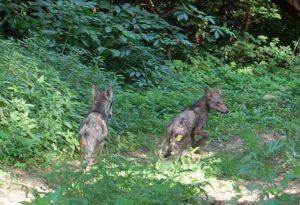 """Nella """"casa dei lupi"""": una cucciolata fa impazzire la Valluretta. LE FOTO"""