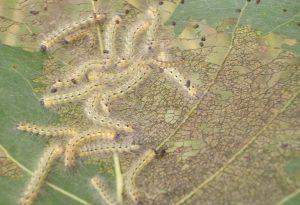 Bruchi, ragnetti e moscerini: campagne invase dagli insetti