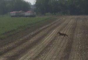 Un lupo in un campo proprio alle porte della città GUARDA IL VIDEO