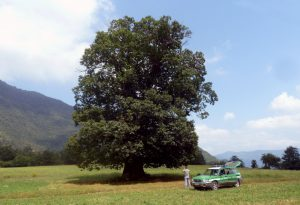Da Ottone ai giardini Margherita, dai platani ai cedri: sono gli alberi monumentali. Il più alto è 30 metri