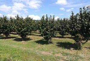 Impiantare noccioleti nel Piacentino: al via la fase realizzativa