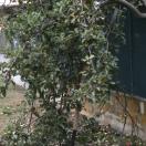 Cade dalla pianta mentre raccoglie le mele: piacentino di 82 anni in condizioni serie