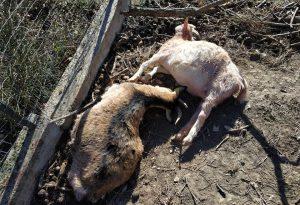 Raid dei lupi: sbranate tre capre, un'altra ferita gravemente