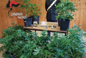 Serra di marijuana in cantina: 34enne piacentino arrestato