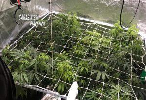 Serra di marijuana e droga in casa: 32enne in manette a Borgonovo