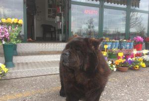 Ladro entra nel chiosco di fiori ma viene messo in fuga da un cane