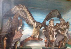 Museo di Storia naturale: donati trecento animali imbalsamati