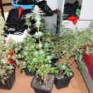 Coltivava in casa marijuana di ottima qualità, arrestato grazie alla segnalazione dei vicini