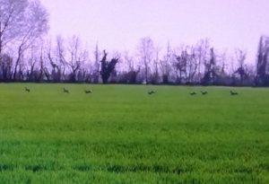 Branco di caprioli corre nei campi di Gossolengo. GUARDA IL VIDEO
