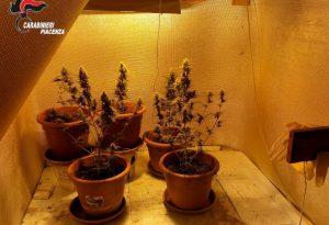 Serra in casa per coltivare marijuana: denunciato piacentino 35enne