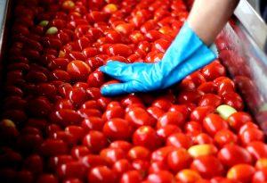 Campagna pomodori già partita alla Steriltom di Casaliggio. Saranno lavorate 220mila tonnellate